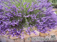Lavandula angustifolia - English Lavender   Click to see full-size image