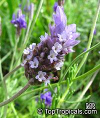 Lavandula dentata, French LavenderClick to see full-size image