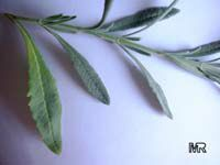 Lavandula latifolia, Spike LavenderClick to see full-size image