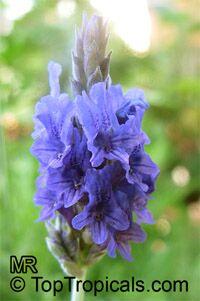 Lavandula multifida, French Lace LavenderClick to see full-size image