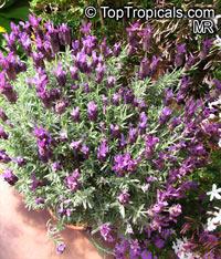 Lavandula stoechas , Spanish Lavender, Stoechas Lavender, Topped Lavender, Rabbit Ears, Papillon   Click to see full-size image