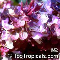 Ocimum tenuiflorum, Ocimum sanctum, Holy basil, Thai Basil, Holy Basil, Tulsi Plant  Click to see full-size image