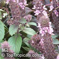 Ocimum basilicum, Basilie, Basil, Sweet Basil, Holy Basil, Tulsi Plant  Click to see full-size image