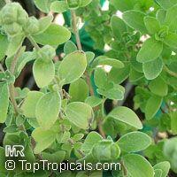 Origanum majorana, Sweet Marjoram, Knotted MarjoramClick to see full-size image
