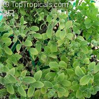 Origanum majorana, Sweet Marjoram, Knotted Marjoram  Click to see full-size image