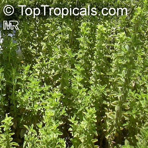 oregano herbal supplement