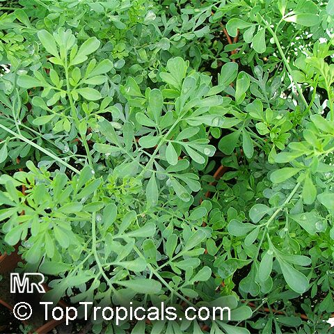 what is ruda herb used for