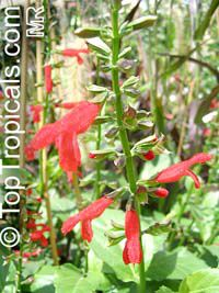 Salvia sp., Garden SageClick to see full-size image
