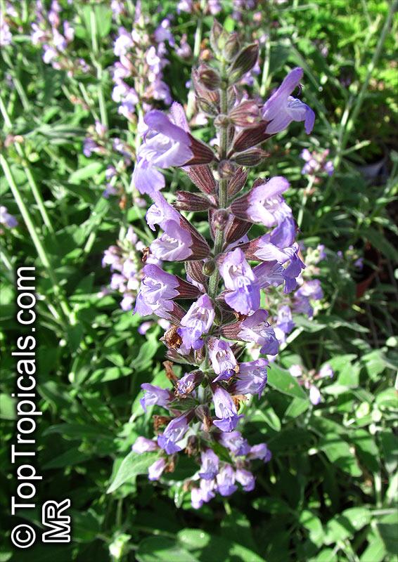 Salvia Officinalis Plant Salvia Officinalis Berggarten