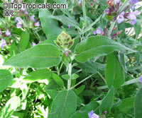 Salvia officinalis, Berggarten Sage, Garden Sage, Common Sage  Click to see full-size image