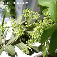 Schinus terebinthifolius, Brazilian pepper-tree  Click to see full-size image