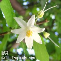 Styrax officinalis, Drug Snowbell, Storax  Click to see full-size image