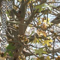 Brachychiton australis, Sterculia trichosiphon, Broad Leaved Bottletree  Click to see full-size image