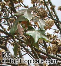 Brachychiton australis, Sterculia trichosiphon, Broad Leaved Bottletree