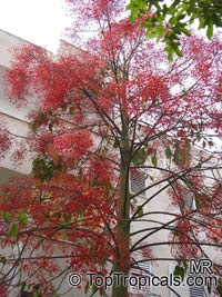 Brachychiton acerifolium - Flame tree   Click to see full-size image