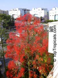 Brachychiton acerifolius, Flame Tree