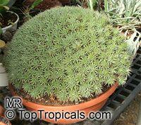 Deuterocohnia sp., Abromeitiella sp., Abromeitiella  Click to see full-size image