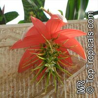 Billbergia sp., Bromeliad Queen of Tears, Friendship Plant  Click to see full-size image