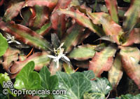 Cryptanthus sp., Cryptanthus, Bromeliad  Click to see full-size image