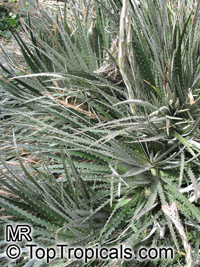Dyckia sp., Dyckia  Click to see full-size image