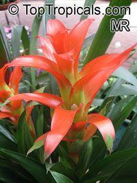 Guzmania sp., Bromeliad  Click to see full-size image