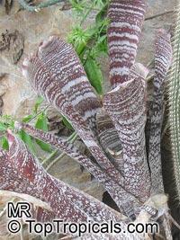Hohenbergia correia-araujoi, HohenbergiaClick to see full-size image