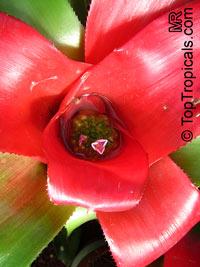 Neoregelia sp., BromeliadClick to see full-size image