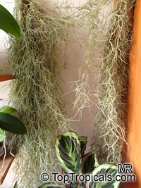Tillandsia usneoides - Spanish Moss  Click to see full-size image