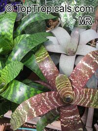 Vriesea sp., Bromeliad