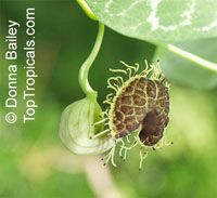 Aristolochia fimbriata, Fringed Aristolochia, Fringed Dutchman's Pipe  Click to see full-size image