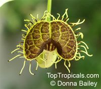 Aristolochia fimbriata, Fringed Aristolochia, Fringed Dutchman's Pipe