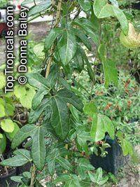 Aristolochia trilobata, Dutchman's Pipe, Birthwort, Bejuco de Santiago  Click to see full-size image