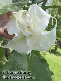 Brugmansia X candida, Datura candida, Angel's Trumpet  Click to see full-size image