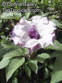 Datura Metel - Horn-of-Plenty
