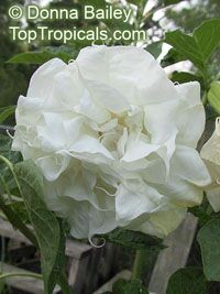 Datura White double Purity - seeds