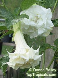 Datura metel White - seeds