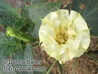 Datura Golden Queen double - seeds