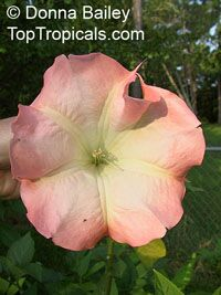 Brugmansia hybrid Pink - seeds  Click to see full-size image