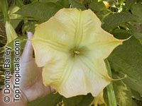 Brugmansia X insignis, Angel Trumpets  Click to see full-size image