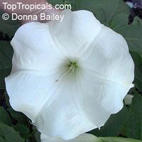 Brugmansia Snow White - seeds  Click to see full-size image