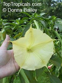Brugmansia hybrid Yellow, Angels Trumpet  Click to see full-size image