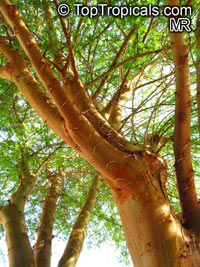 Acacia xanthophloea - Fever tree  Click to see full-size image