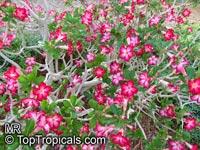Adenium hybrid (single flower), Desert Rose, Impala Lily, Adenium hybrids  Click to see full-size image
