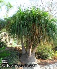 Beaucarnea recurvata, Nolina recurvata, Ponytail Palm, Pony Tail, Bottle Palm, Nolina, Elephant-foot TreeClick to see full-size image