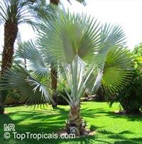 Bismarckia nobilis, Medemia nobilis, Bismarck Palm  Click to see full-size image