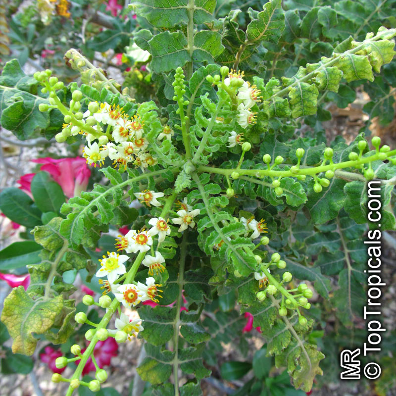 boswellia sacra boswellia carteri boswellia undulato crenata olibanum tree click to
