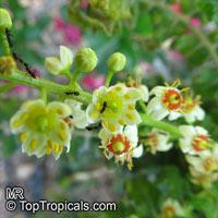 Boswellia sacra, Boswellia carteri, Boswellia undulato crenata, Frankincense, Olibanum TreeClick to see full-size image