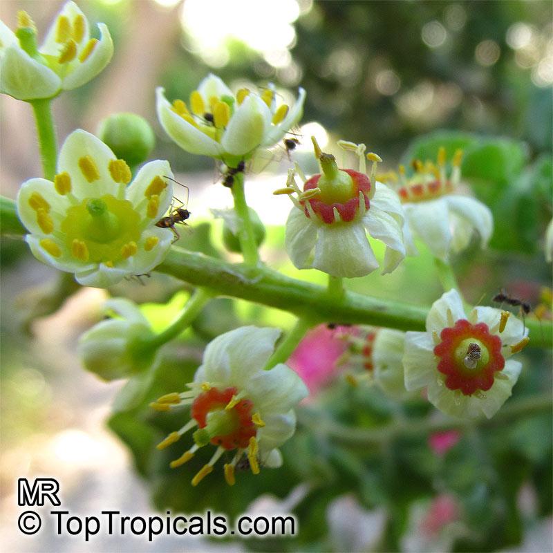 Garden Bush: Boswellia Sacra, Boswellia Carteri, Boswellia Undulato