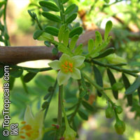 Bursera microphylla, Elephant Tree, Torote Colorado, Copal  Click to see full-size image