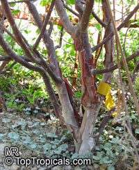 Bursera morelensis, Red Cuajiote  Click to see full-size image